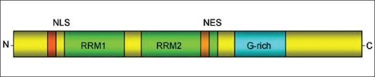 Figure 3 :Schematic diagram of TDP-43 protein with functional domains: It contains two RNA recognition motifs (RRM 1 and 2) able to bind UG repeats in RNA as well as a glycine-rich C-terminal sequence. These features may be essential for TDP-43 to carry out its role in exon skipping and splicing inhibitory activity, which requires the C-terminal domain of TDP-43 through interaction with several members of the heterogeneous nuclear ribonucleoprotein family associated with mRNA processing. NLS-Nuclear localization sequence, NES-Nuclear export sequence